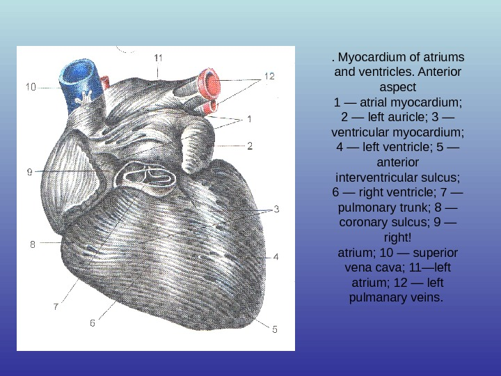 . Myocardium of atriums and ventricles. Anterior aspect 1 — atrial myocardium;  2 — left