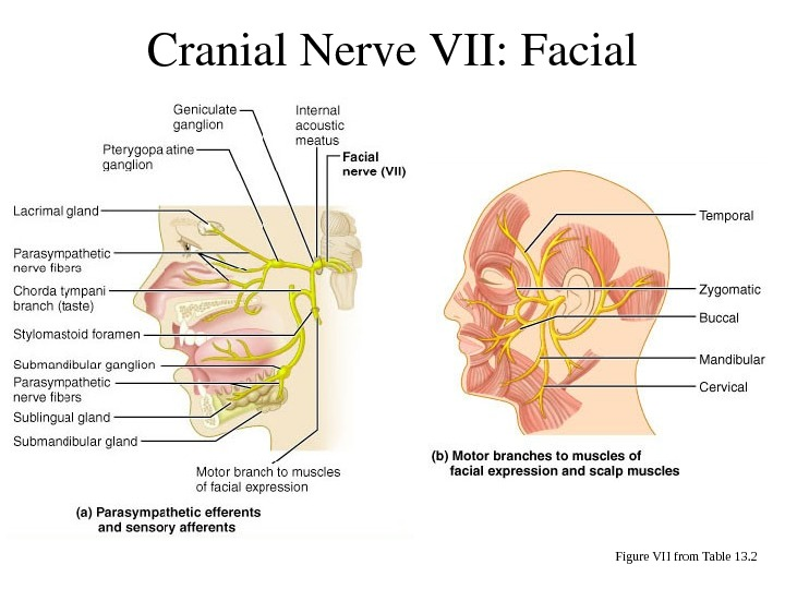 Cranial. Nerve. VII: Facial Figure VII from Table 13. 2