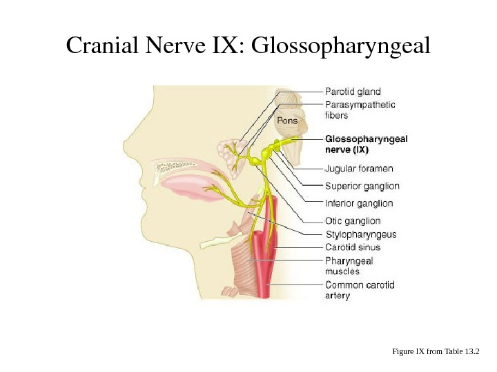 Cranial. Nerve. IX: Glossopharyngeal Figure IX from Table 13. 2