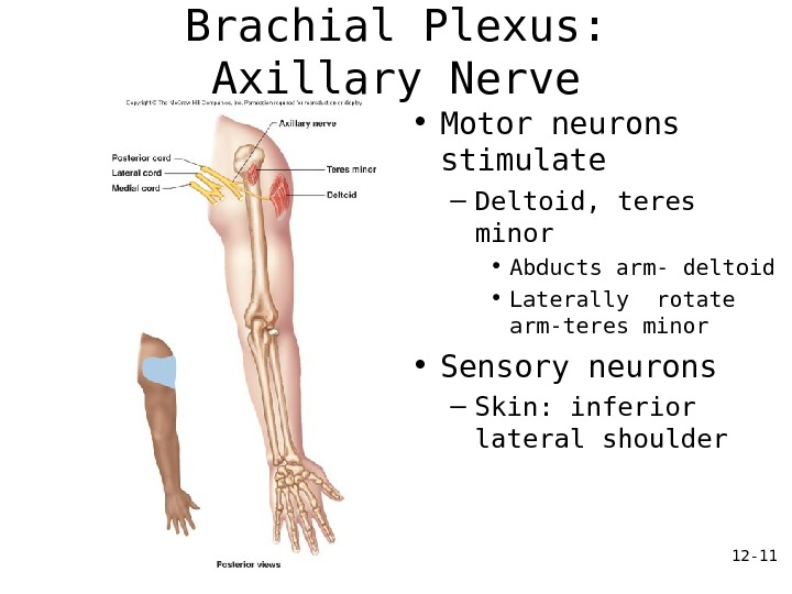 12 - 11 Brachial Plexus:  Axillary Nerve • Motor neurons stimulate – Deltoid, teres minor