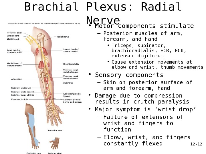 12 - 12 Brachial Plexus: Radial Nerve • Motor components stimulate – Posterior muscles of arm,