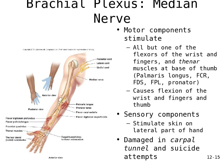 12 - 15 Brachial Plexus: Median Nerve • Motor components stimulate – All but one of