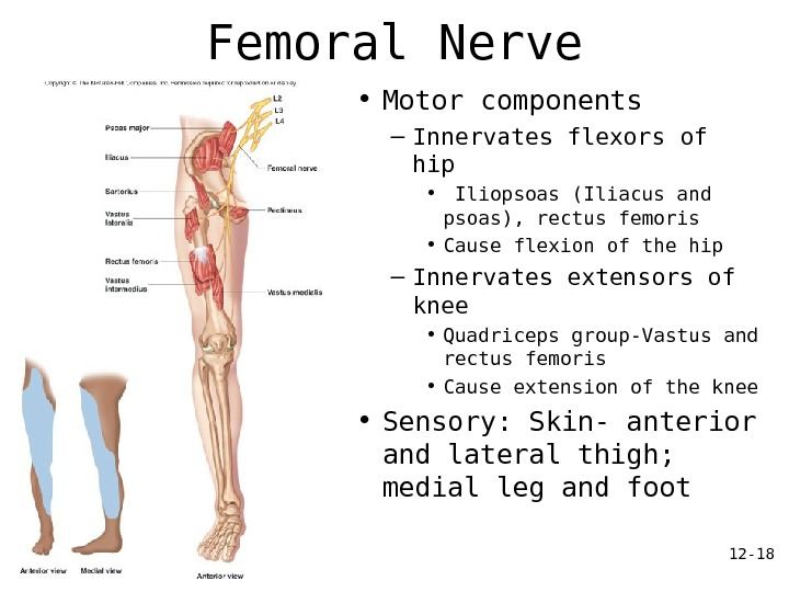 12 - 18 Femoral Nerve • Motor components – Innervates flexors of hip •  Iliopsoas