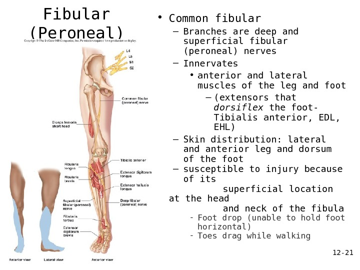 12 - 21 Common Fibular (Peroneal) Nerve • Common fibular – Branches are deep and superficial