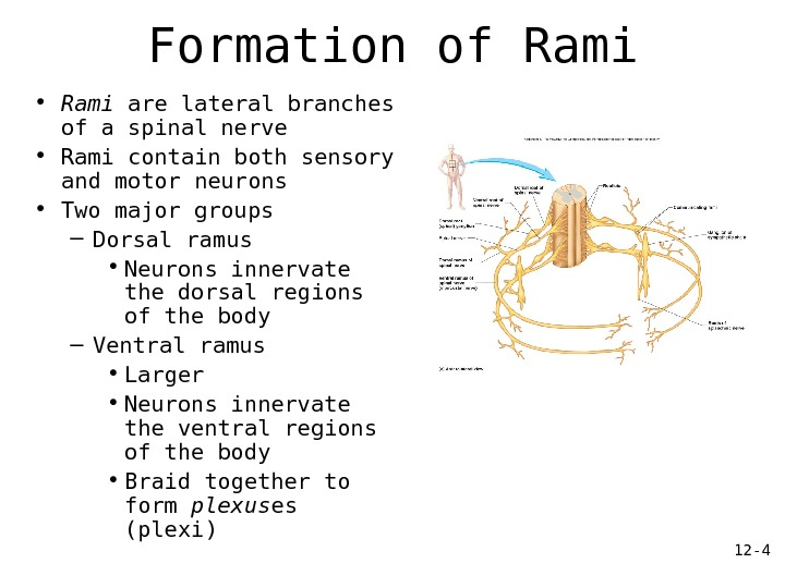 12 - 4 Formation of Rami • Rami are lateral branches of a spinal nerve •