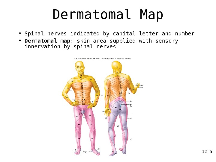 12 — 1 Spinal s AP 150 Chapter Dermatomal Map on