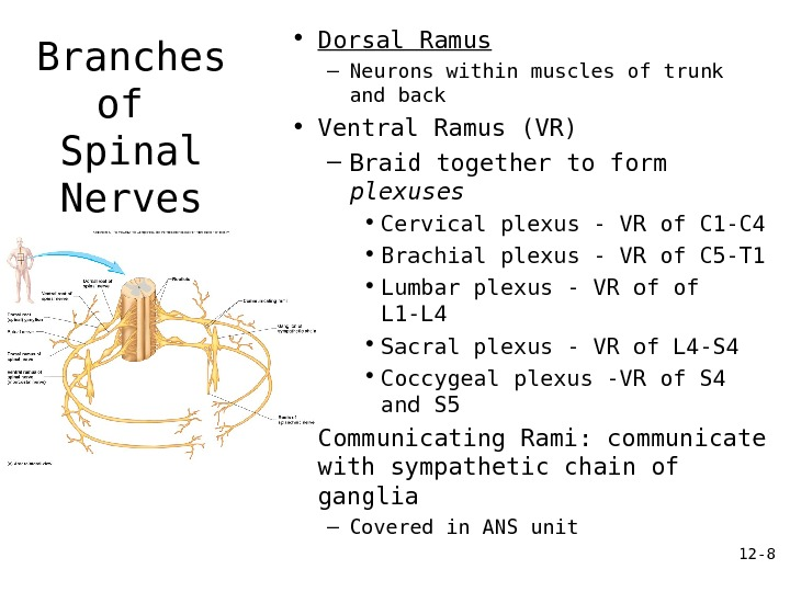 12 - 8 Branches of Spinal Nerves • Dorsal Ramus – Neurons within muscles of trunk