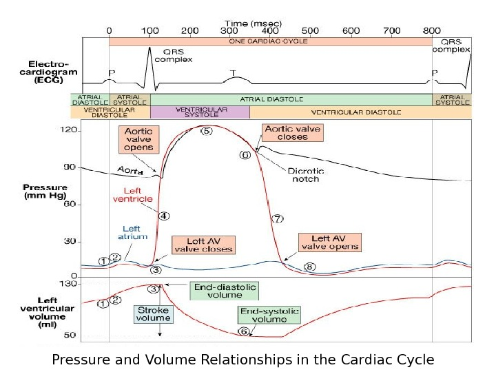 Pressure and Volume Relationships in the Cardiac Cycle