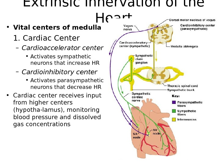 Extrinsic Innervation of the Heart • Vital centers of medulla 1. Cardiac Center – Cardioaccelerator center