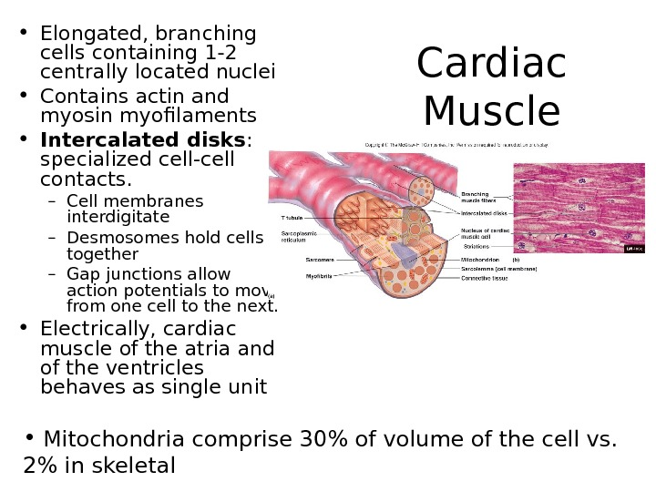 Cardiac Muscle • Elongated, branching cells containing 1 -2 centrally located nuclei • Contains actin and