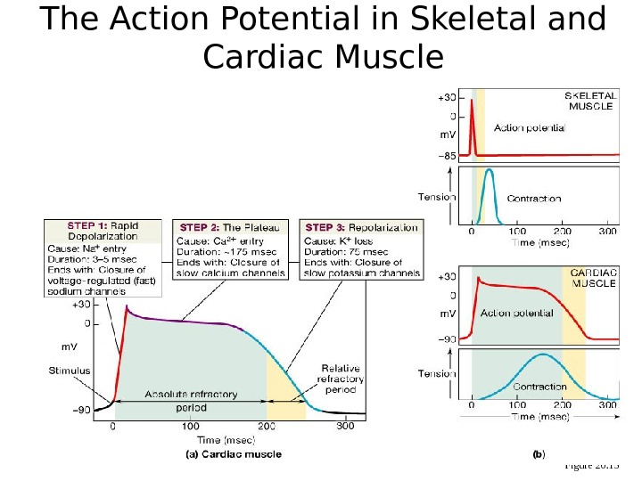 The Action Potential in Skeletal and Cardiac Muscle Figure 20. 15