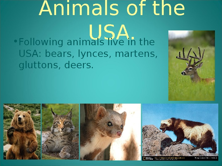 Animals of the USA.  • Following animals live in the USA: bears, lynces, martens,