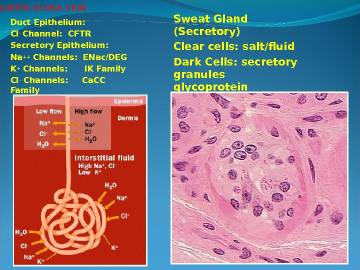 Duct Epithelium: Cl - Channel:  CFTR Secretory Epithelium: Na ++ Channels:  ENac/DEG K +