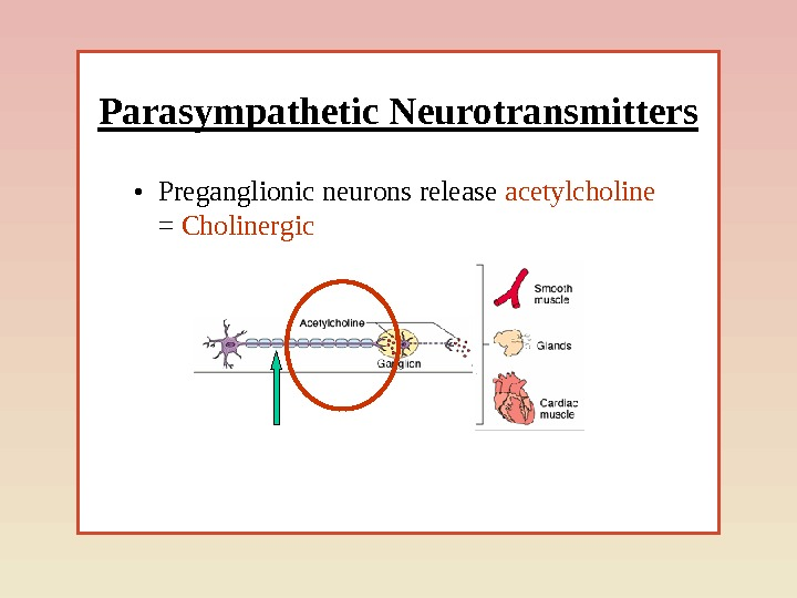 Parasympathetic Neurotransmitters • Preganglionic neurons release acetylcholine = Cholinergic