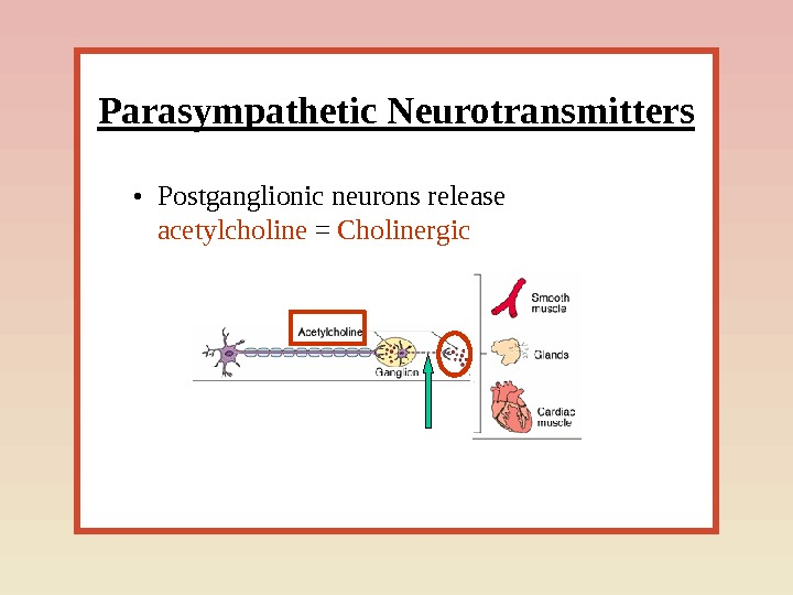 Parasympathetic Neurotransmitters • Postganglionic neurons release acetylcholine = Cholinergic