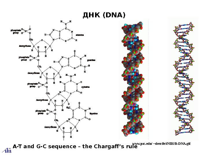 ДНК (DNA) www. psc. edu/ ~deerfiel/NIH/B-DNA. gif A-T and G-C sequence – the Chargaff's