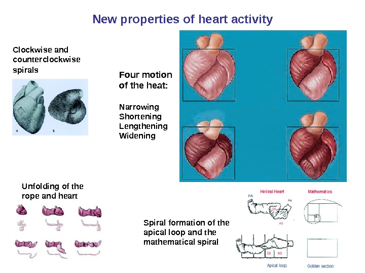 New properties of heart activity Four motion of the heat: Narrowing Shortening Lengthening Widening. Clockwise and