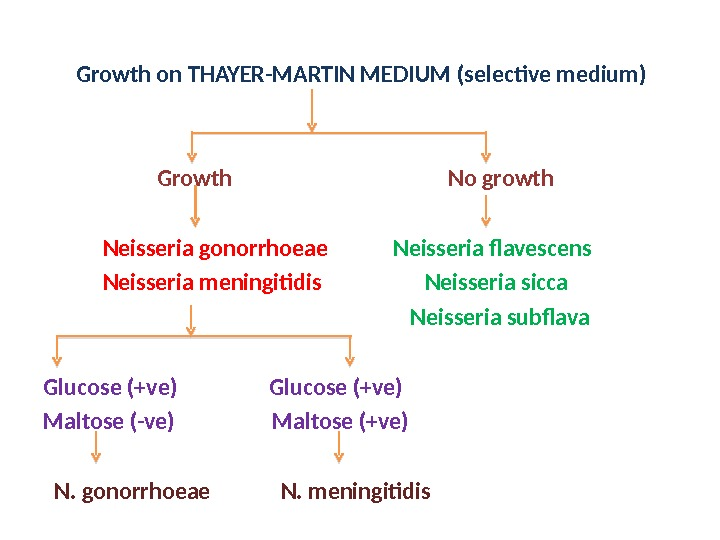 Growth on THAYER-MARTIN MEDIUM (selective medium)    Growth    No