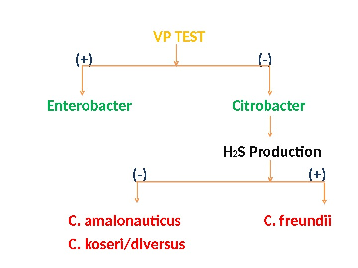 VP TEST   (+)     (-)   Enterobacter
