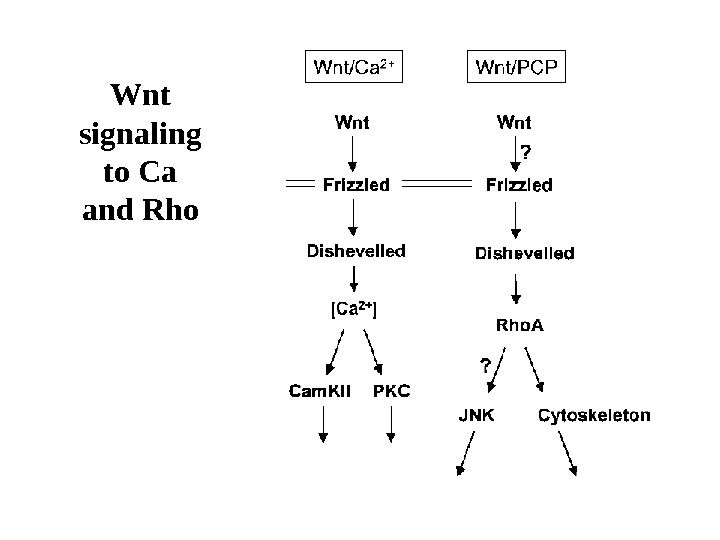 Wnt signaling to Ca and Rho