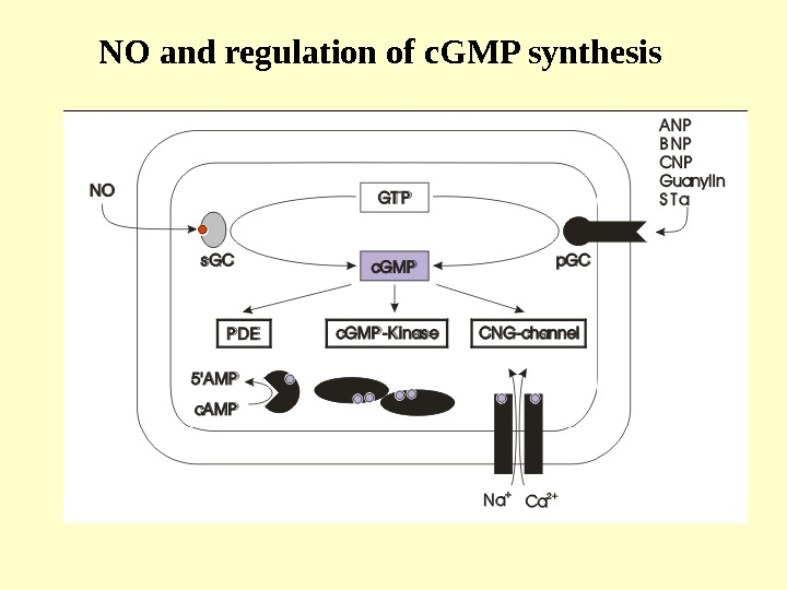NO and regulation of c. GMP synthesis