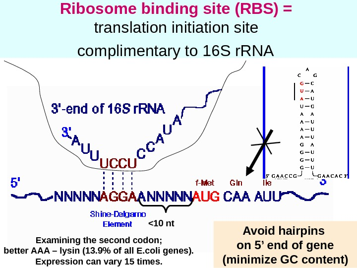 29 Ribosome binding site (RBS) =  translation initiation site complimentary to 16 S r. RNA