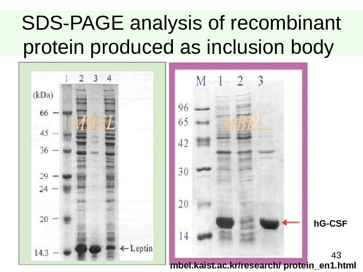 43 SDS-PAGE analysis of recombinant protein produced as inclusion body h. G-CSF  mbel. kaist. ac.