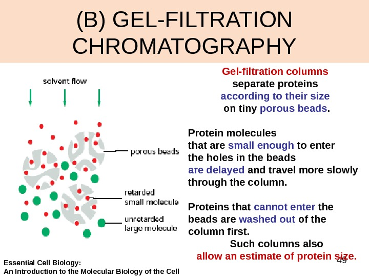 49(B) GEL-FILTRATION CHROMATOGRAPHY Gel-filtration columns  separate proteins according to their size  on tiny porous