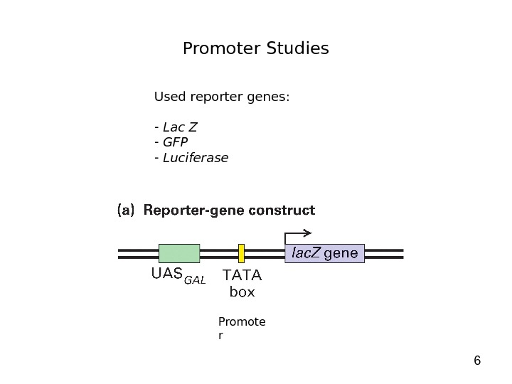 6 Promoter Studies Used reporter genes:  -  Lac Z -  GFP -