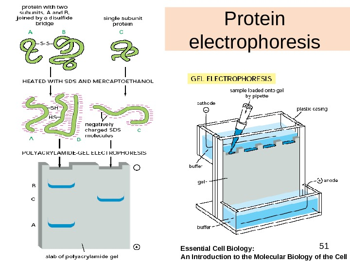 51 Protein electrophoresis Essential Cell Biology:  An Introduction to the Molecular Biology of the Cell