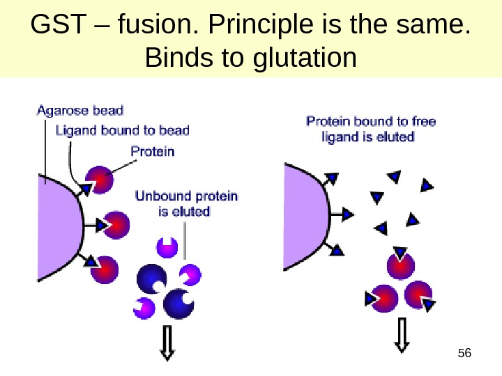 56 GST – fusion. Principle is the same.  Binds to glutation