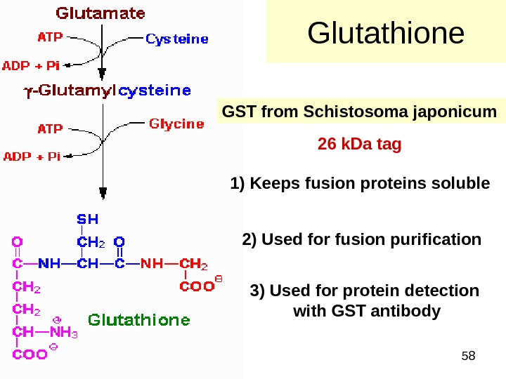 58 Glutathione GST from Schistosoma japonicum  1) Keeps fusion proteins soluble 2) Used for fusion