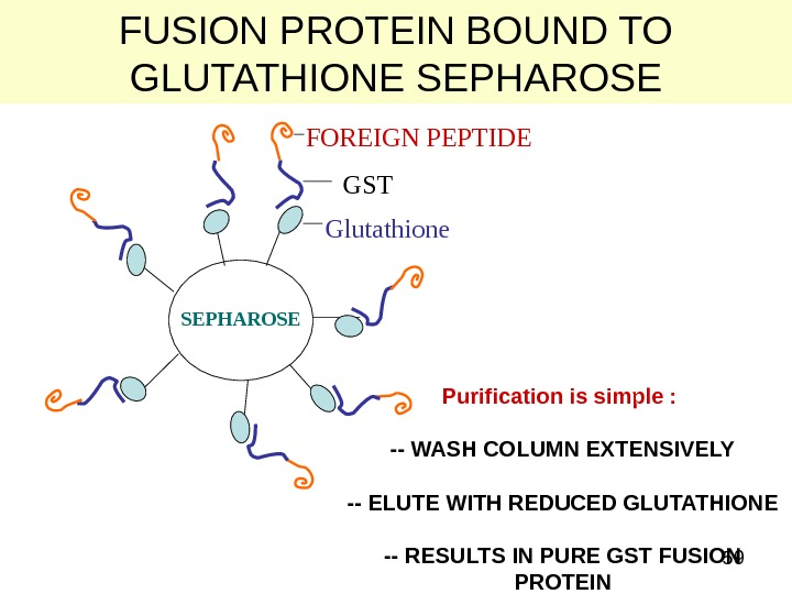 59 FUSION PROTEIN BOUND TO GLUTATHIONE SEPHAROSE Glutathione GSTFOREIGN PEPTIDE SEPHAROSE Purification is simple :