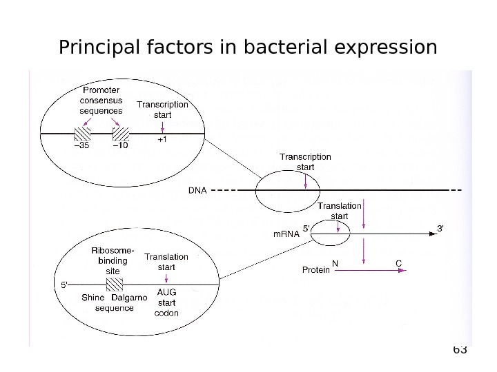 63 Principal factors in bacterial expression