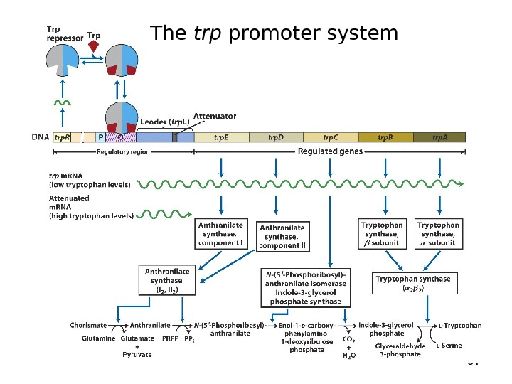 67 The trp promoter system