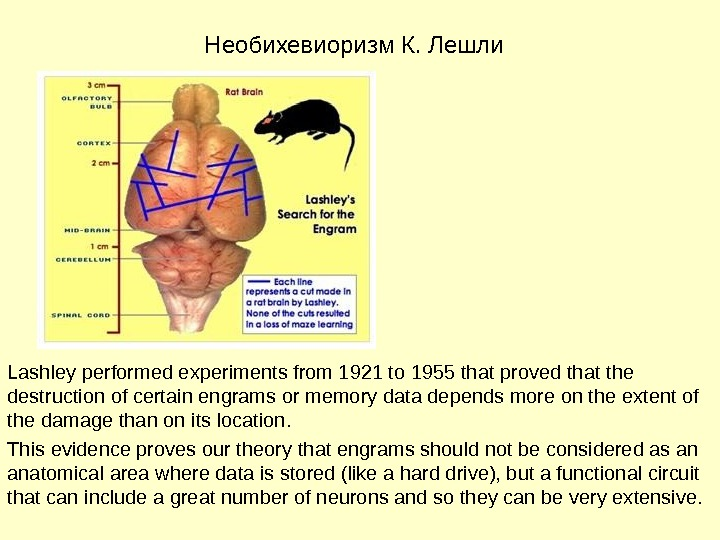 Необихевиоризм К. Лешли Lashley performed experiments from 1921 to 1955 that proved that the destruction of