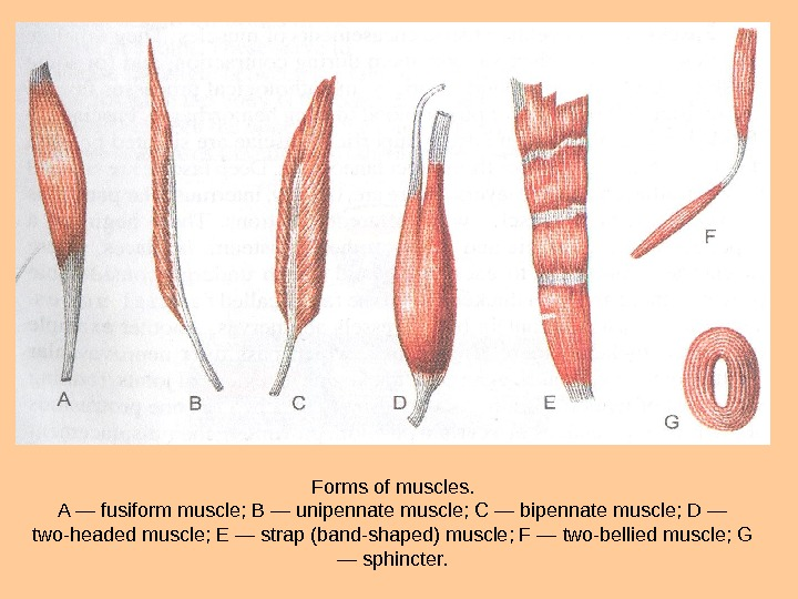 Forms of muscles. A — fusiform muscle;  В — unipennate muscle;  С — bipennate