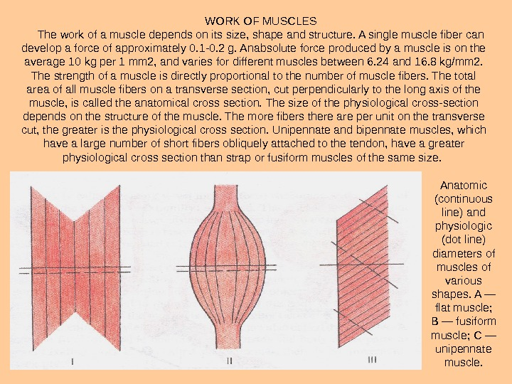 WORK OF MUSCLES The work of a muscle depends on its size, shape and structure. A