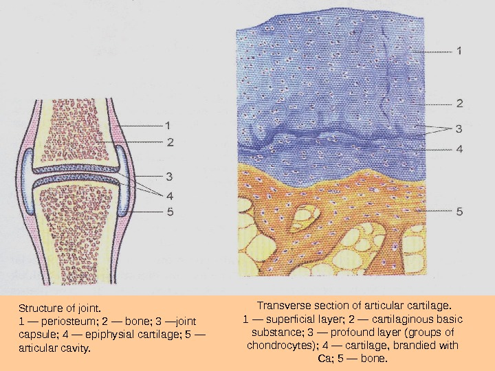 Transverse section of articular  cartilage. 1 — superficial layer; 2 — cartilaginous basic substance;