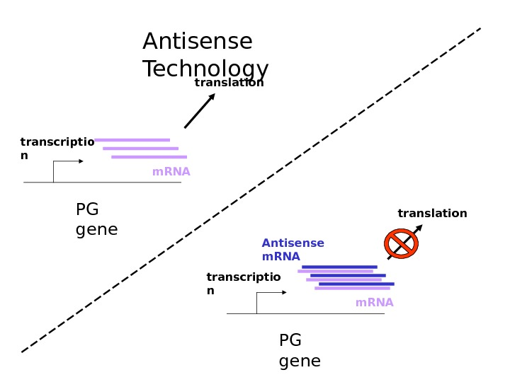 PG genetranscriptio n m. RNA translation PG genetranscriptio n m. RNAAntisense m. RNA translation.