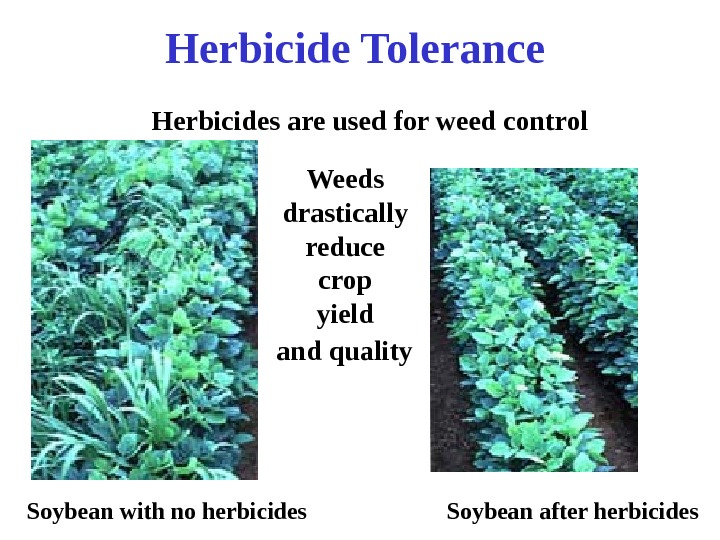 Soybean with no herbicides Soybean after herbicides. Herbicides are used for weed control Herbicide