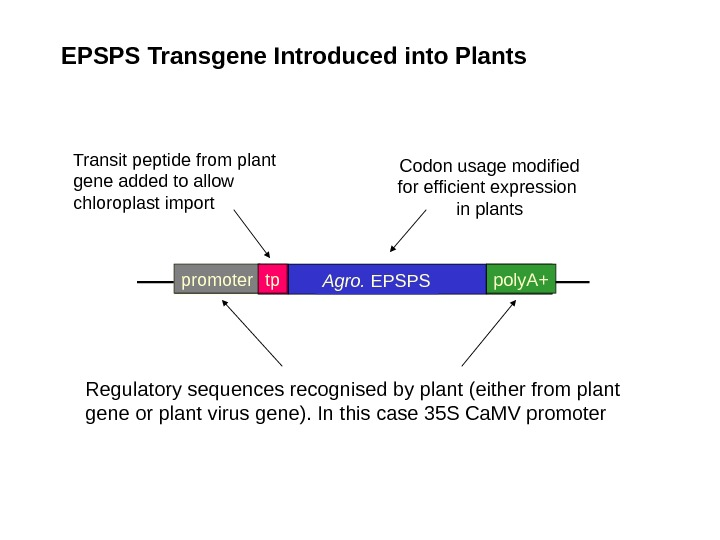 EPSPS Transgene Introduced into Plants Codon usage modified for efficient expression in plants promoter