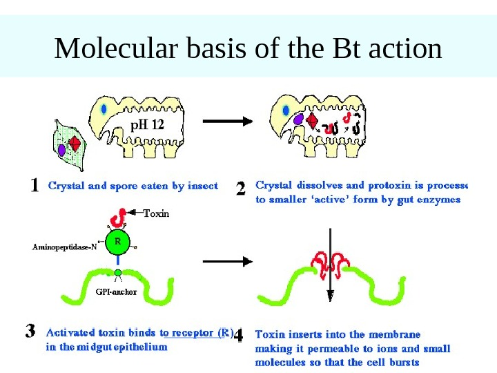Molecular basis of the Bt action