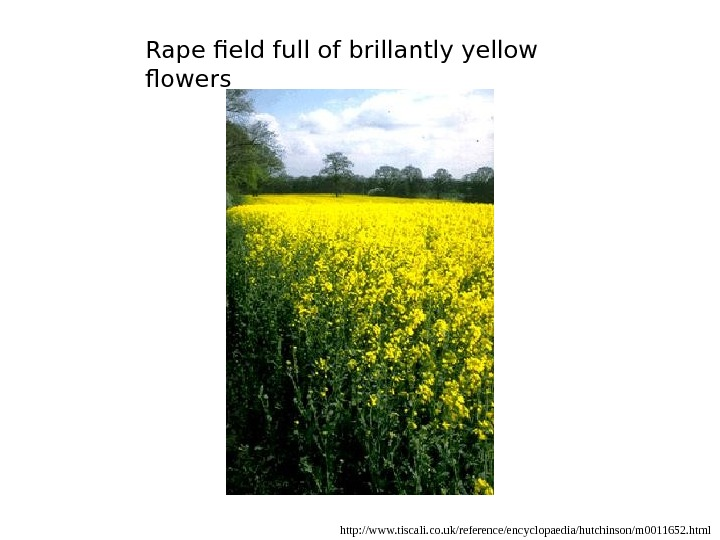 Rape field full of brillantly yellow flowers http: //www. tiscali. co. uk/reference/encyclopaedia/hutchinson/m 0011652. html