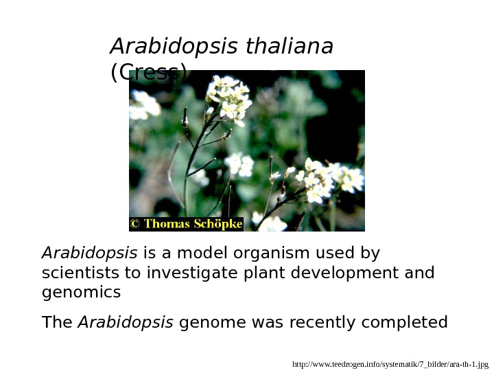 http: //www. teedrogen. info/systematik/7_bilder/ara-th-1. jpg. Arabidopsis thaliana (Cress) Arabidopsis is a model organism used