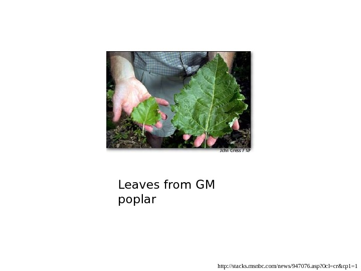 Leaves from GM poplar http: //stacks. msnbc. com/news/947076. asp? 0 cl=cr&cp 1=1