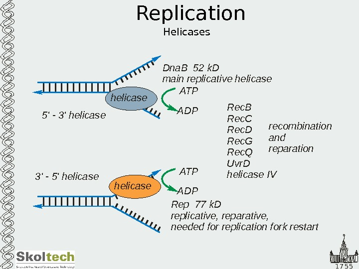 1 7 5 5 Replication Helicases helicase 5' - 3' helicase 3 5 '