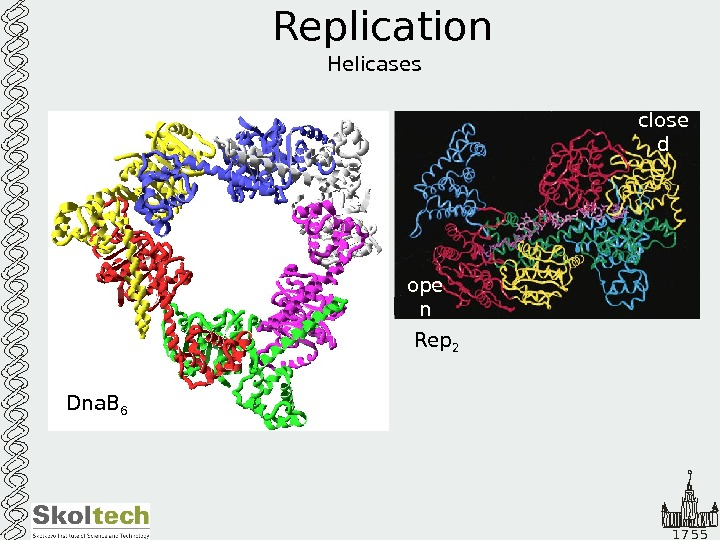 1 7 5 5 Replication Helicases Dna. B 6 Rep 2 ope n close