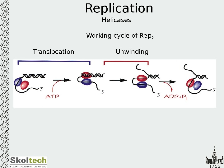 1 7 5 5 Replication Helicases Working cycle of Rep 2 Translocation