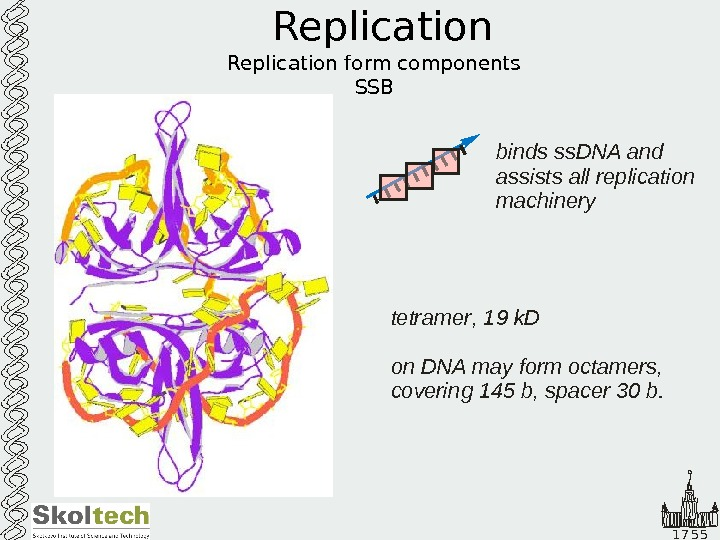 1 7 5 5 Replication form components SSB tetramer k. D on DNA may